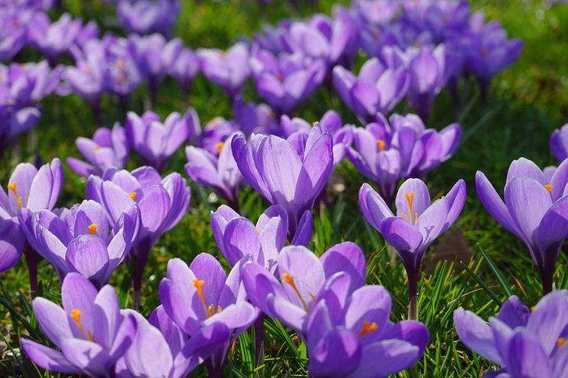 Flores del Azafrán