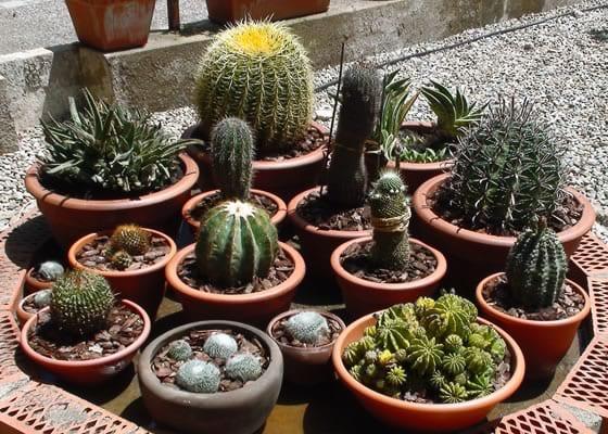 D nde colocar los cactus for Donde venden cactus