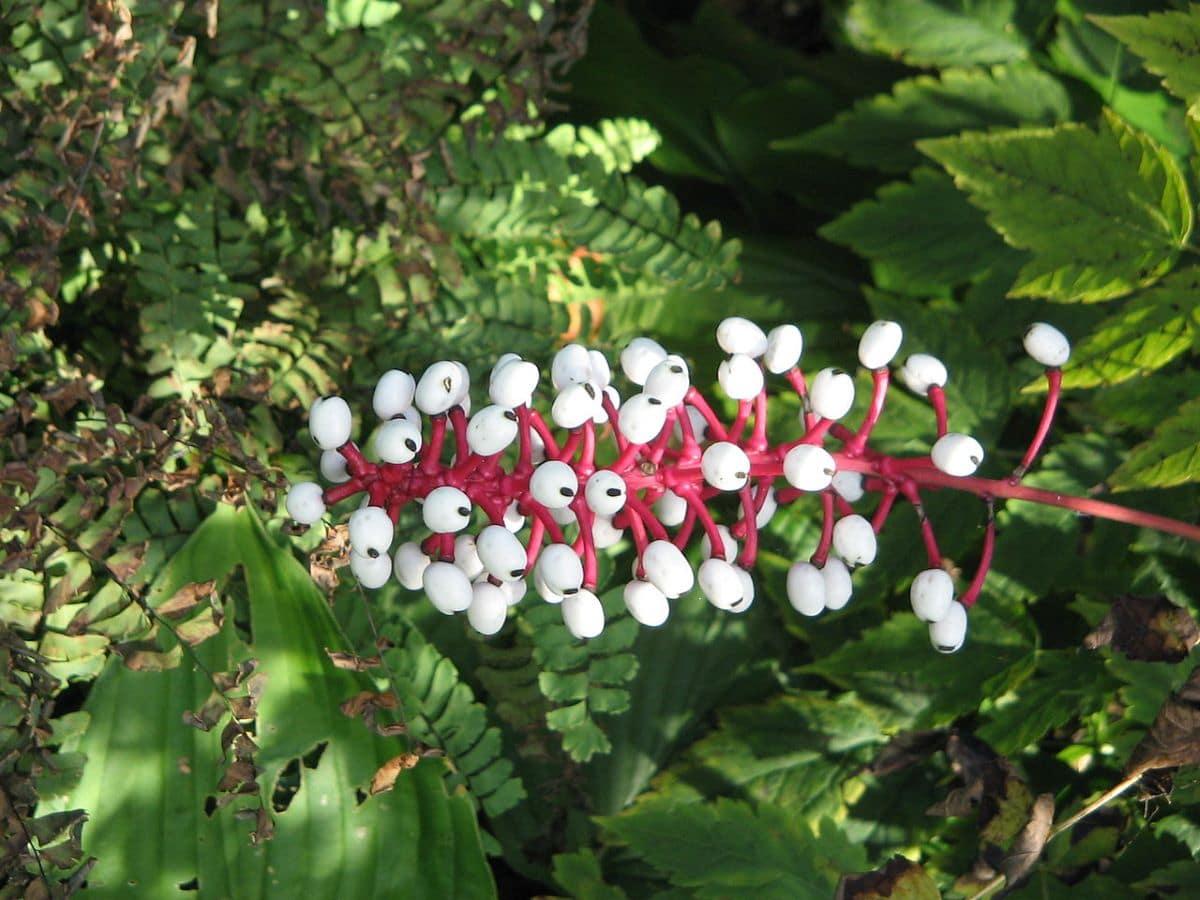 La Actaea pachypoda es una planta que produce frutos raros