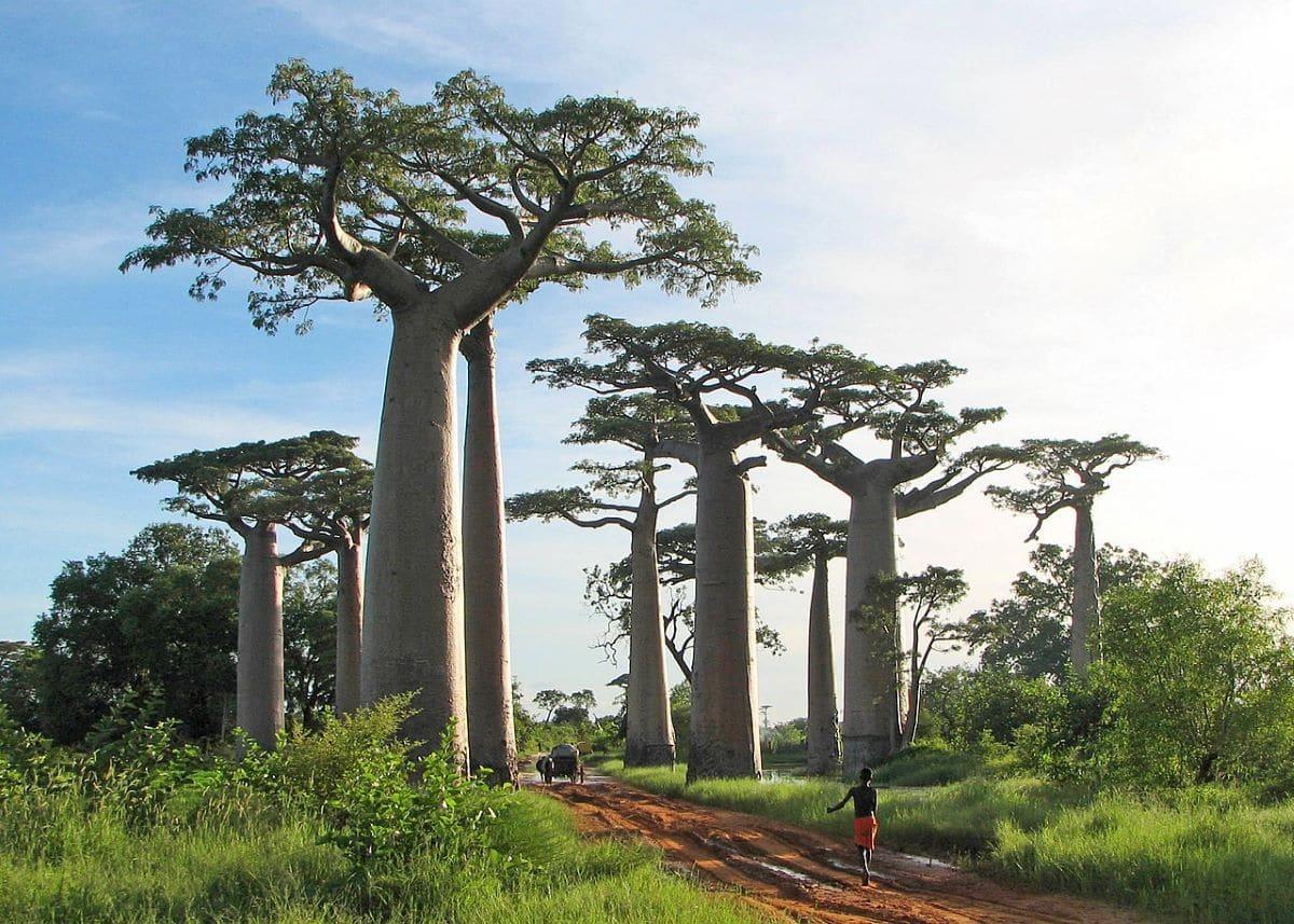 El baobab de Madagascar es un árbol grande