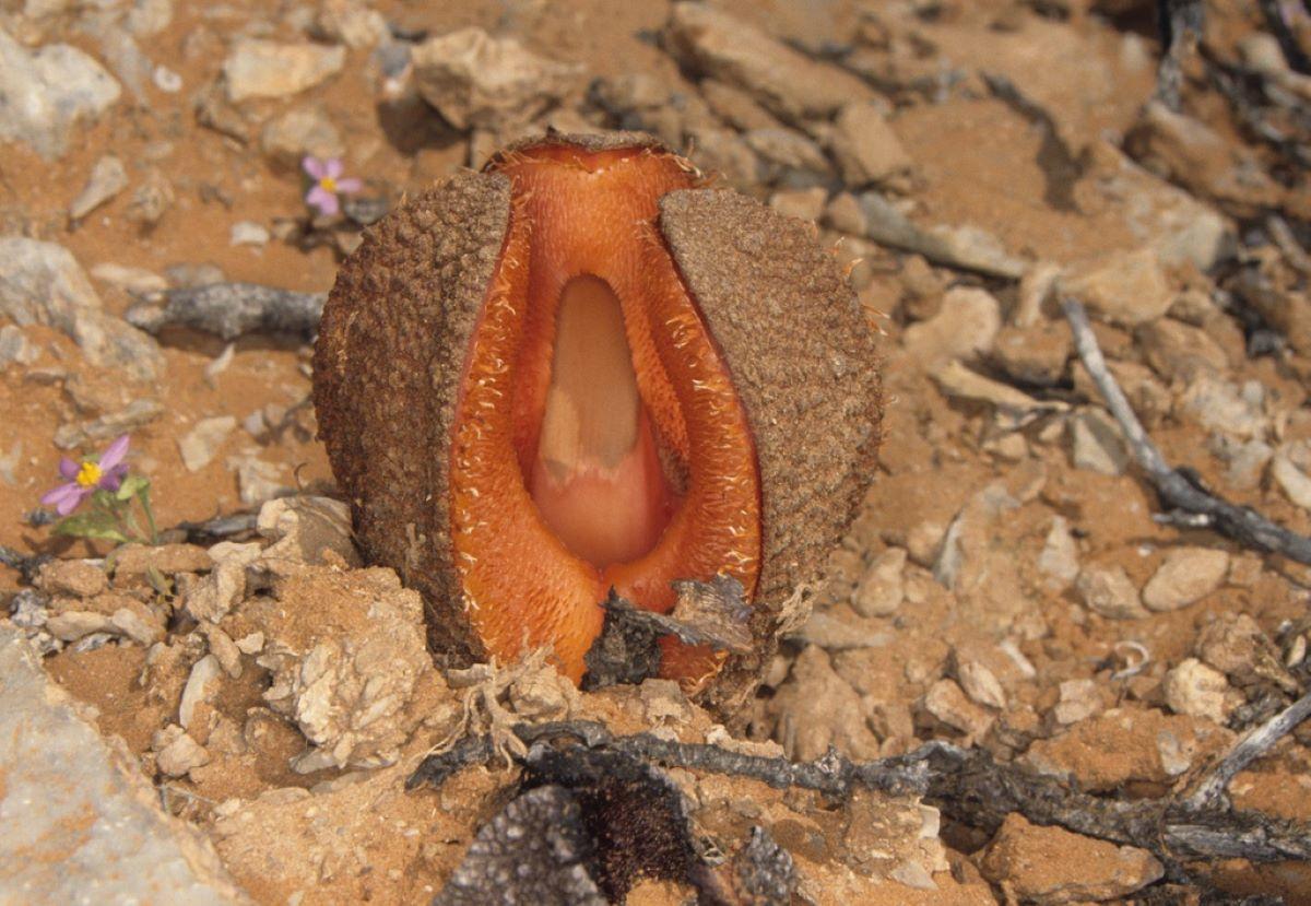 La Hydnora africana es una de las plantas más raras