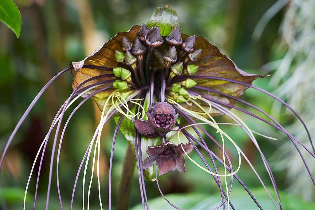 La flor murciélago o bigotes de gato tiene flores muy curiosas