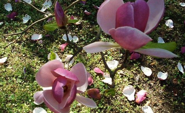 Plantar magnolias en nuestro jard n - Magnolia planta cuidados ...
