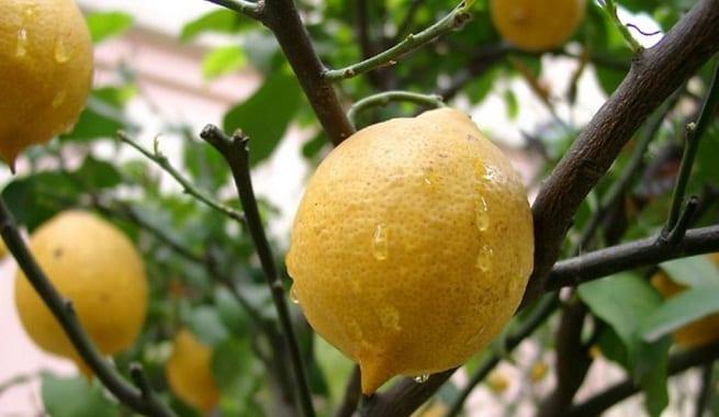 Aclareo de frutas en rboles frutales for Plantas frutales