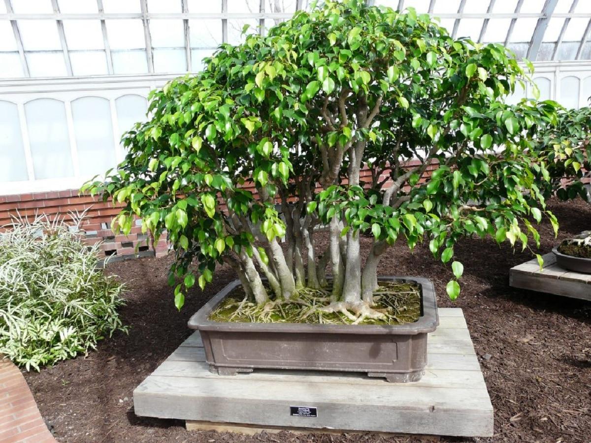 El Ficus benjamina se puede tener como bonsai