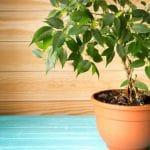 El Ficus benjamina es un árbol interesante para su cultivo