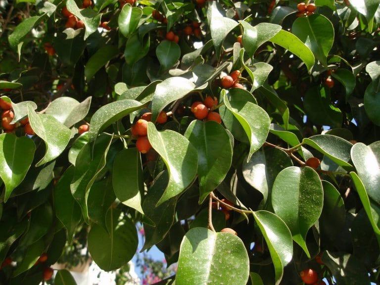 Las hojas del Ficus benjamina son perennes