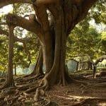 El Ficus benjamina tiene raíces grandes