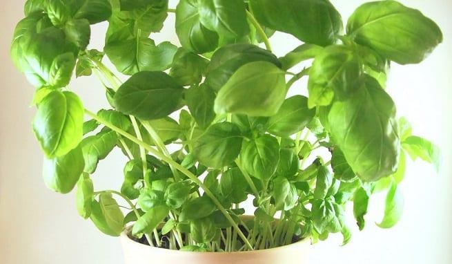 C mo cuidar la albahaca - Como cuidar las hortensias en maceta ...