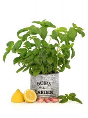 Como cuidar la planta de albahaca en maceta casa dise o - La casa de la maceta ...