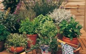 Plantas aromáticas en maceta