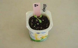 planton de lechuga romana