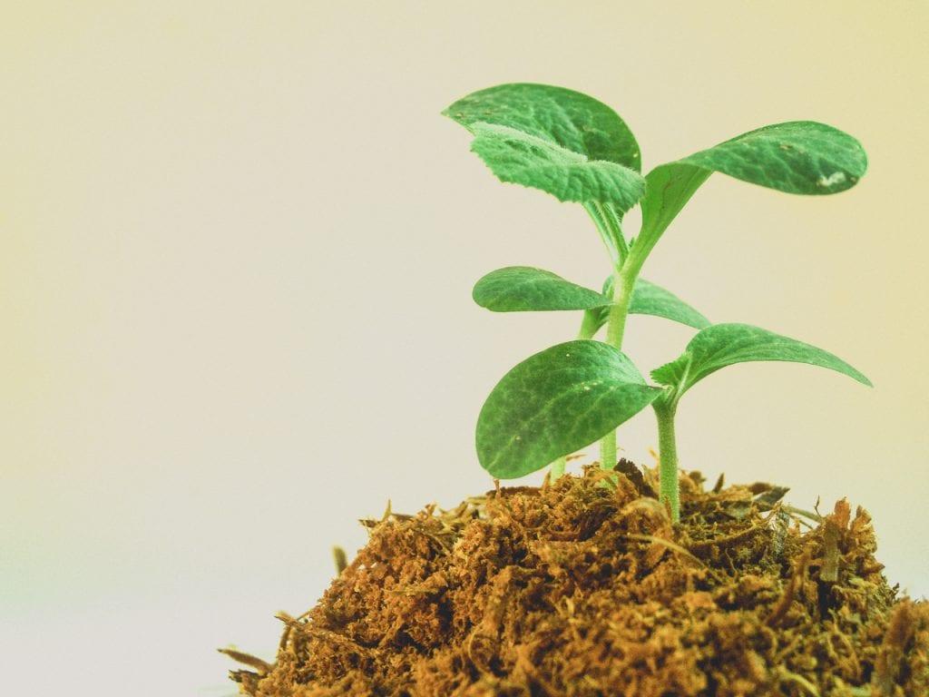 Las plántulas crecen rápido con las auxinas