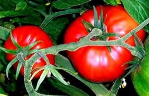 Tomates en tomatera