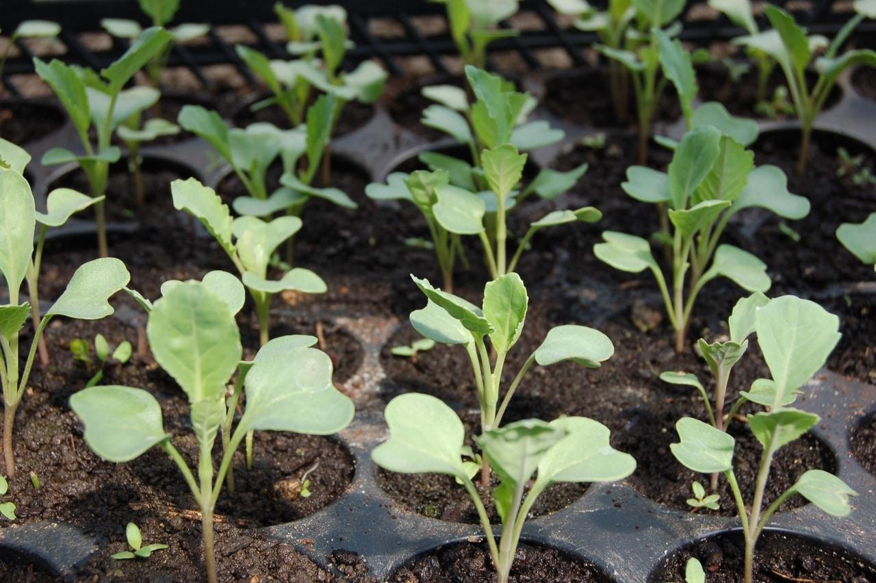 Las bandejas de semillero son útiles para sembrar