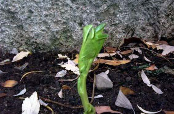 Planta de habas en crecimiento
