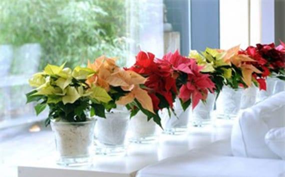 Cuidados de la flor de pascua o planta de navidad - Que cuidados necesita la flor de pascua ...
