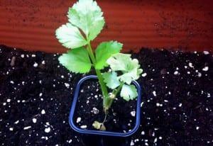 Planton de apio