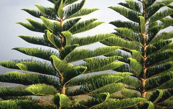 Rbol de navidad natural opciones de supervivencia for Tipos de pinos para jardin fotos