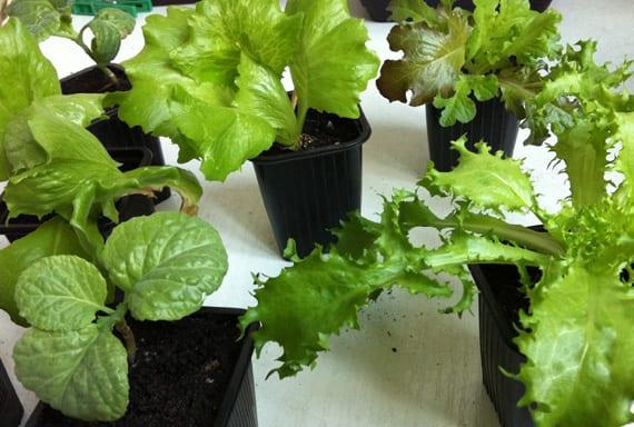 plantones
