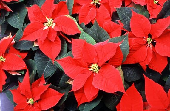 Cuidados de la Flor de Pascua o Planta de Navidad