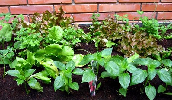 Asociaciones de cultivos de hortalizas Asociaciones de cultivos favorables
