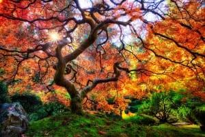 Árbol de Acer Palmatum