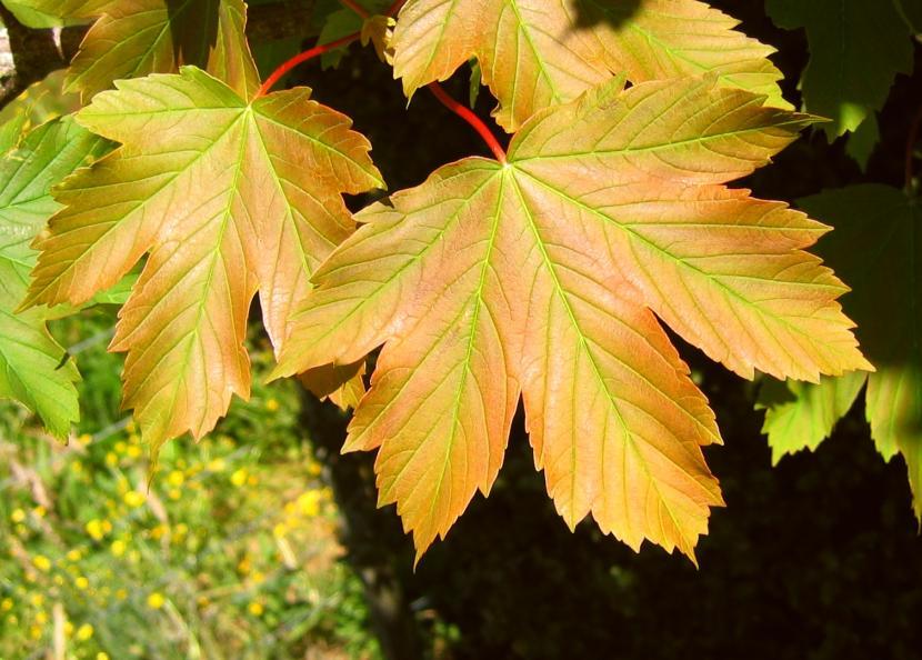 Hojas del árbol Acer Pseoduplatanus