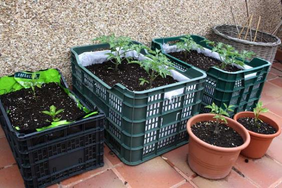 El cultivo de patatas for Como cultivar patatas