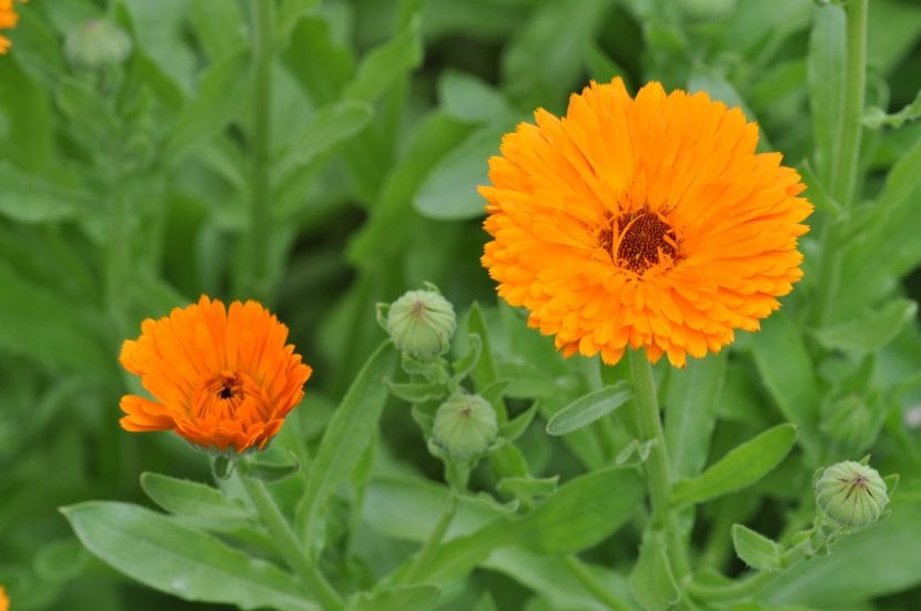 Planta de Calendula officinalis