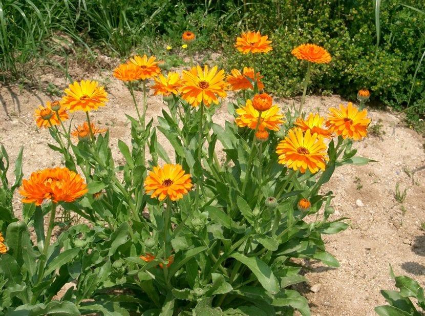 Calendula officinalis en jardín