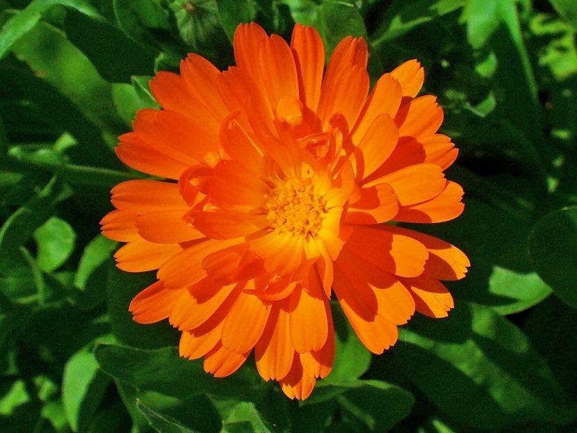 Preciosa flor de caléndula