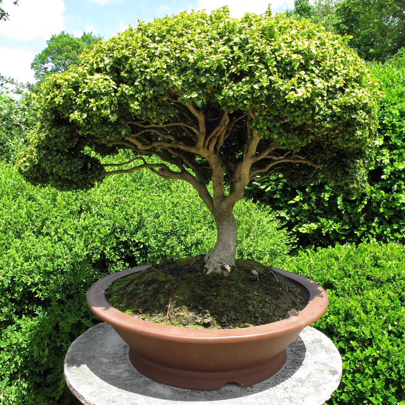 Consejos para cuidar un bonsai for Bonsais de interior
