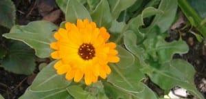 Flor de la caléndula