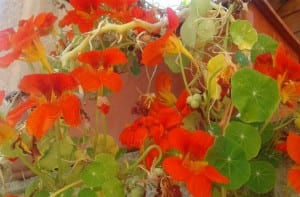 Flores de Capuchina