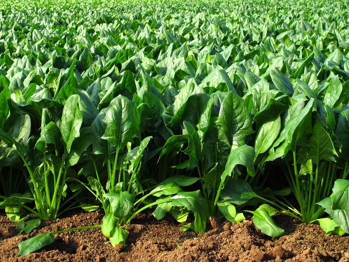 La espinaca se cultiva en tierra