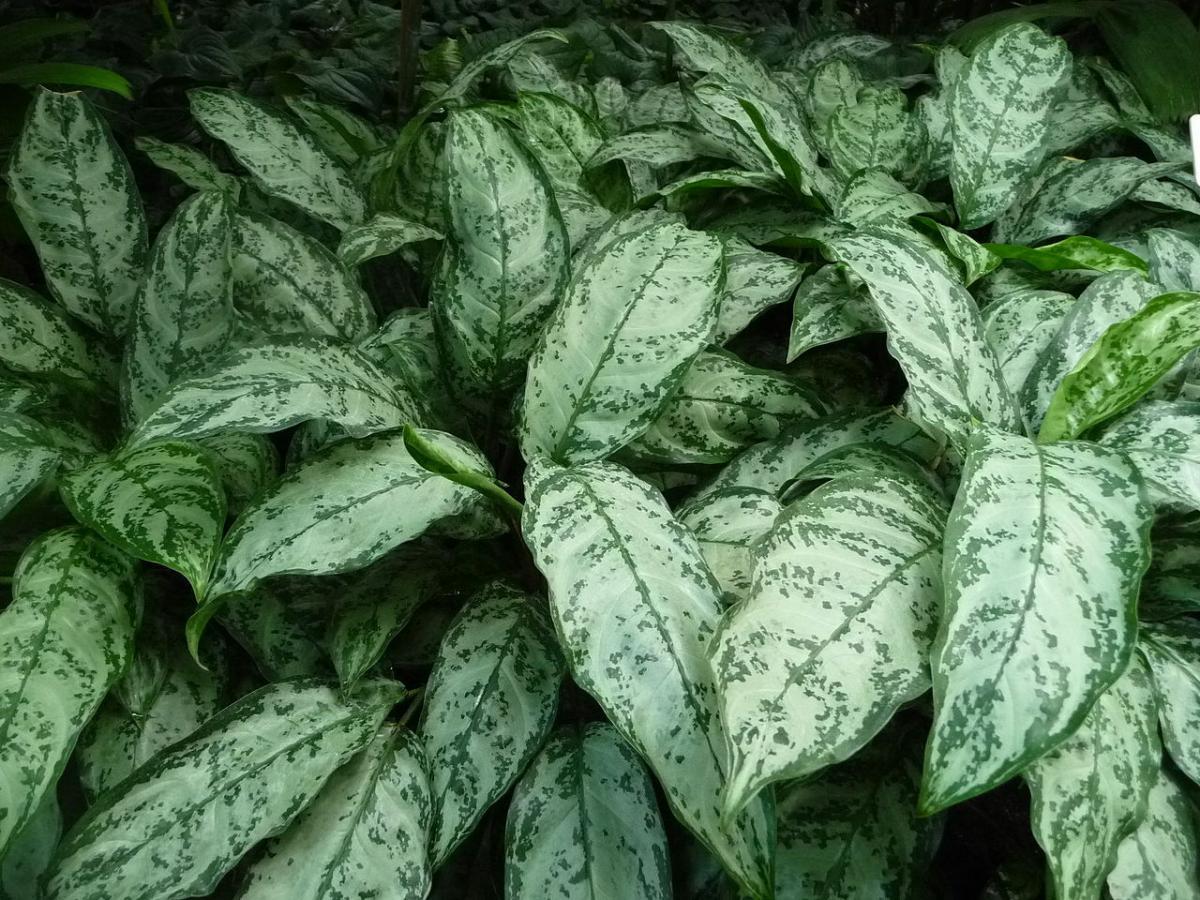 Las Aglaonema son plantas con hojas de colores