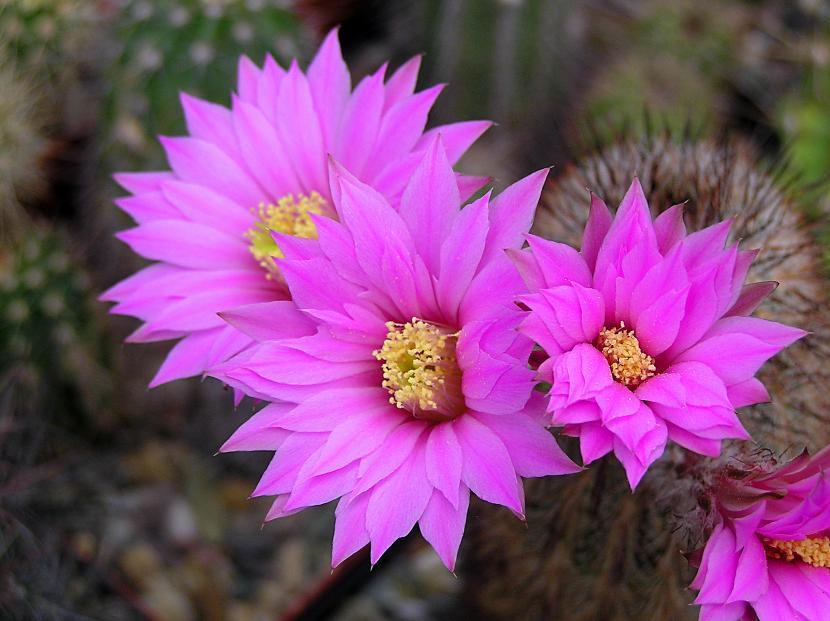 Cactus Echinocereus Laui