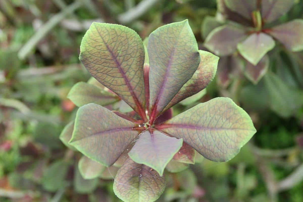 El lechero africano tiene las hojas verdes, o rojizas