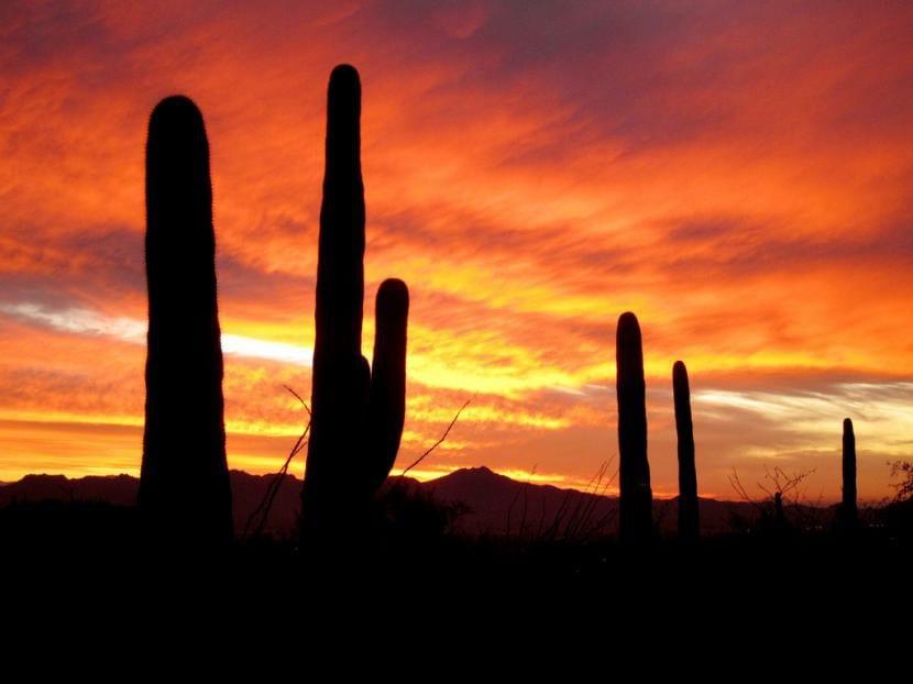 Saguaro, el cactus gigante en hábitat