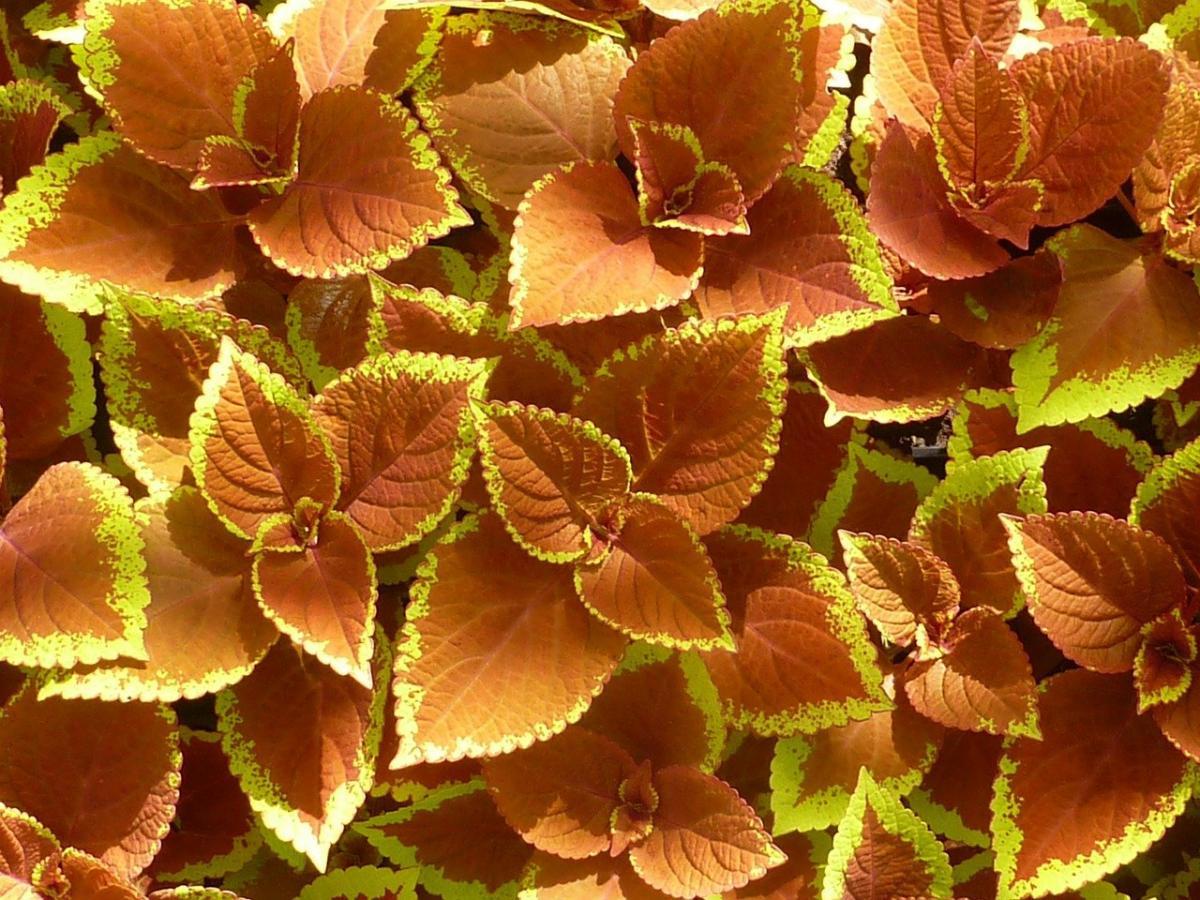Los cóleos tienen hojas de colores