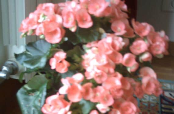 Begonia Eliator