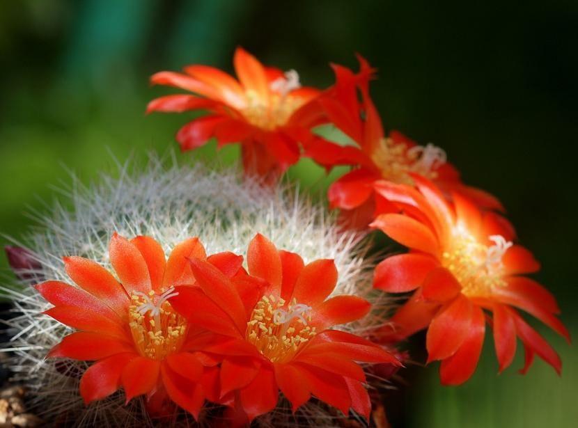 Cactus Rebutia senilis en flor