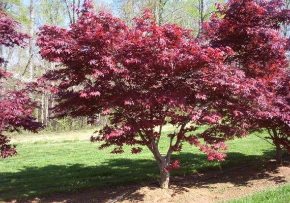 Acer palmatum Emperor