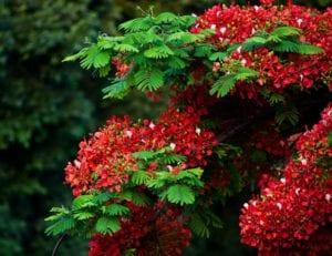 Hojas y flores del flamboyan