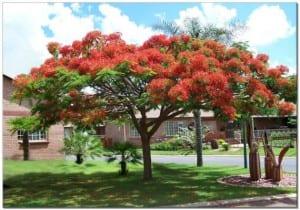 Árbol de flamboyán