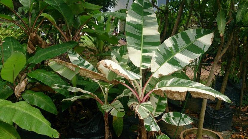 La Musa variegada es una planta preciosa