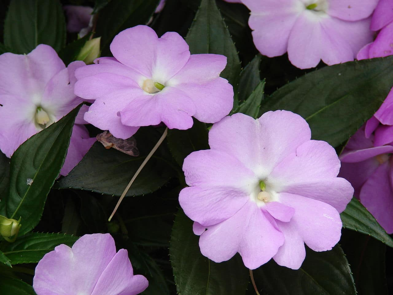 Vista de la alegría guineana, una planta de flores preciosas