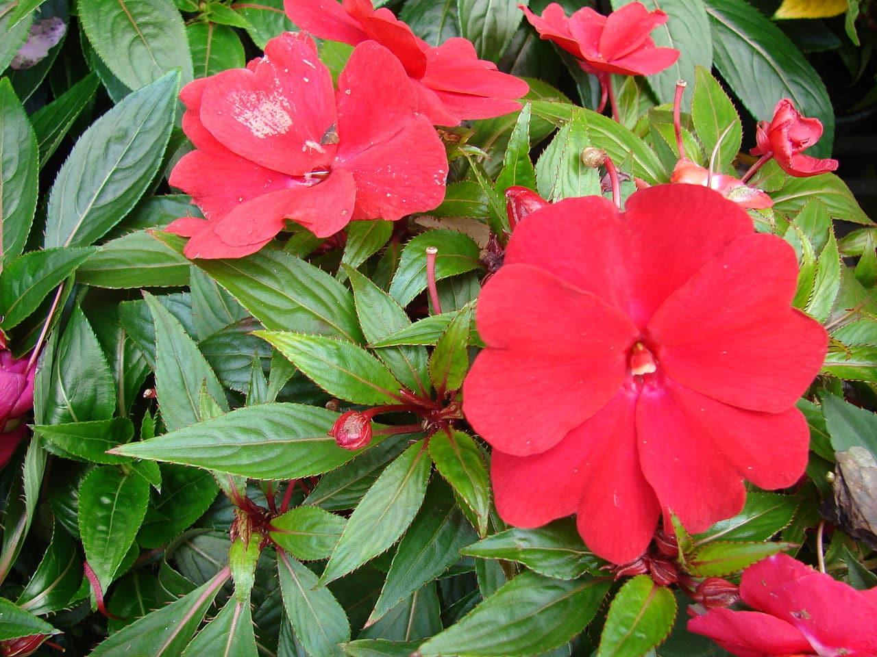 La alegría guineana es una planta anual