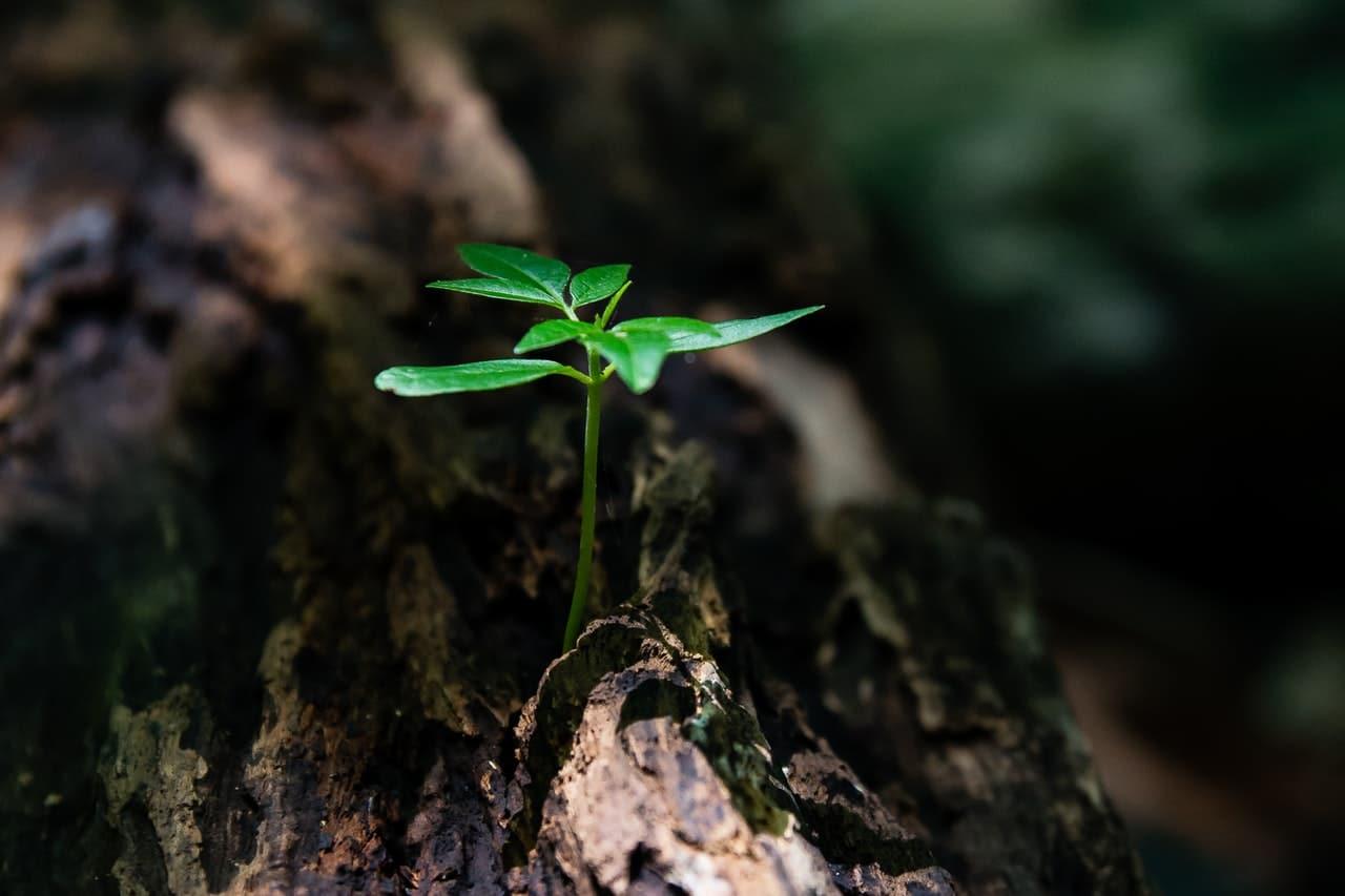 Los árboles germinados en la naturaleza tienen más dificultades para sobrevivir